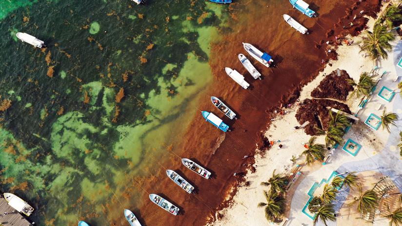 Así es el sargazo, el alga que tiene a las playas de México 'con el agua al cuello'