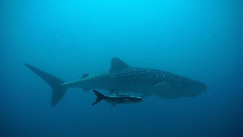 FOTO: Captan por primera vez un intento de apareamiento de tiburón ballena