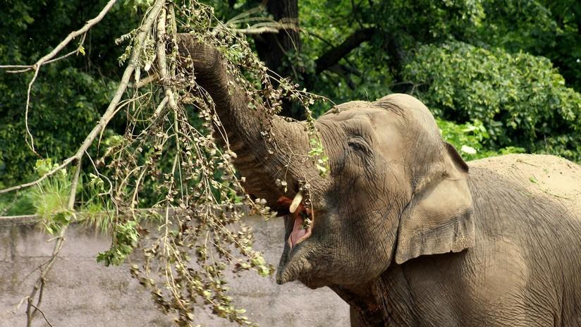 VIDEO: Un elefante espanta a un leopardo que acechaba a un impala