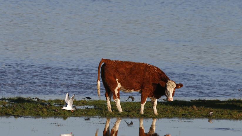Video: Más de 50 vacas son barridas río abajo por una inundación repentina en EE.UU.