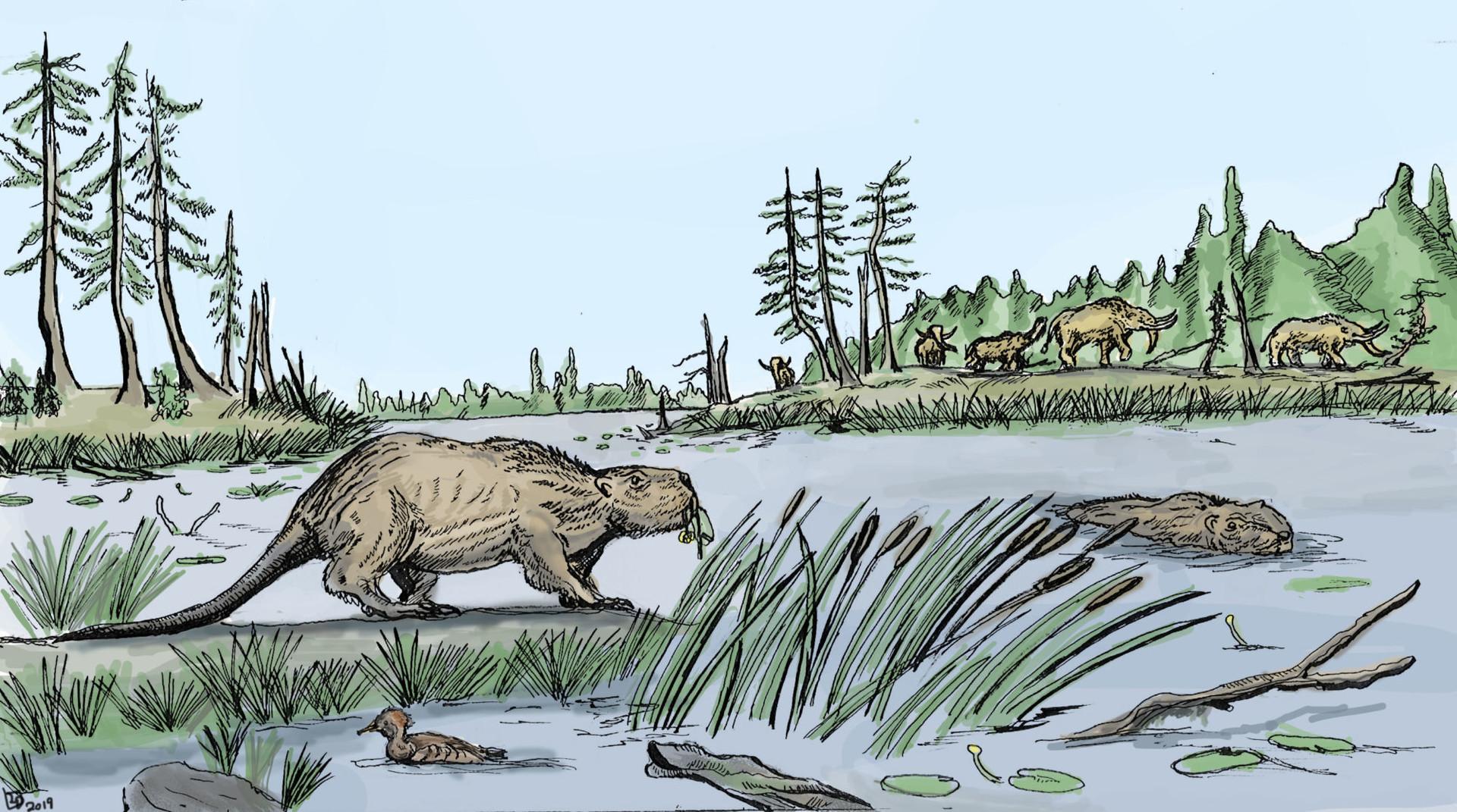 El castor gigante, un roedor prehistórico de gran tamaño que pesaba hasta 100 kilogramos. / Western University.