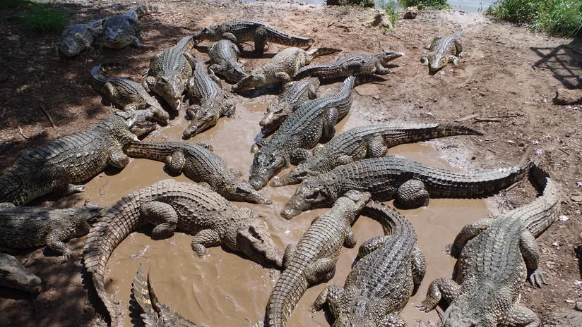 Una niña de dos años muere devorada por los cocodrilos que cría su familia en Camboya