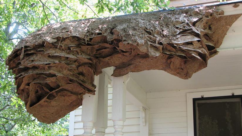 FOTO: Aparecen enormes nidos de avispas en zonas residenciales de EE.UU.