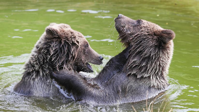 """VIDEO: Captan desde un escondite """"la mejor pelea de osos de la historia"""""""