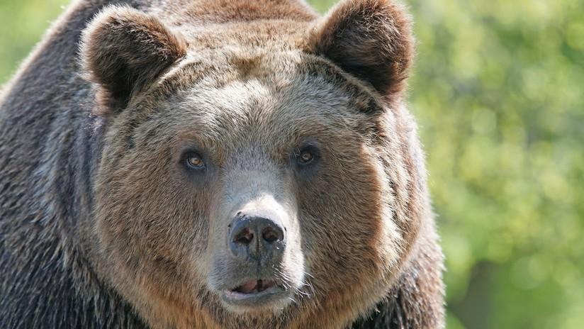 VIDEO: Un hombre se filma empujando a un oso salvaje y este le atraviesa la mano de un mordisco