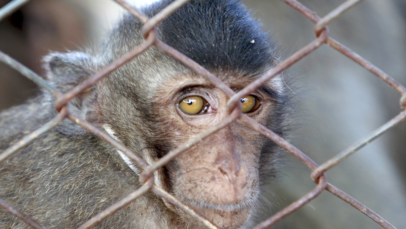 """""""Éticamente aterrador"""": Científicos advierten sobre los peligros de crear híbridos entre humanos y monos para buscar la cura al alzhéimer"""