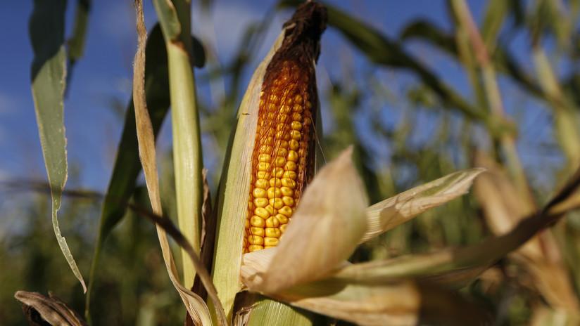 El gusto de los mayas por el maíz podría haber sido la causa de su colapso