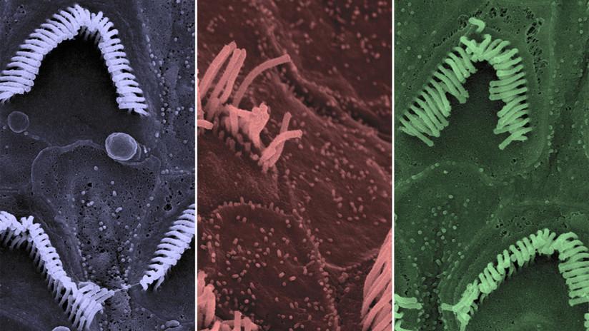 Logran curar la sordera congénita en ratones gracias a una innovadora técnica de edición genética