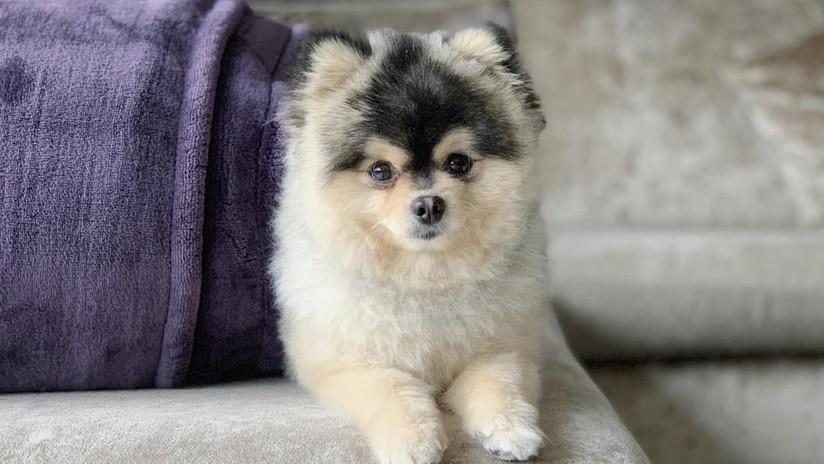 Daniel Sturridge se niega a pagar los 37.500 dolares que había prometido al rescatador de su perro secuestrado