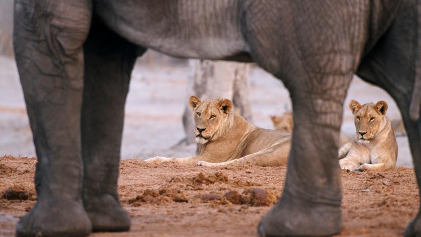 Dramático: Unos turistas graban cómo un joven elefante resiste el feroz ataque de una leona