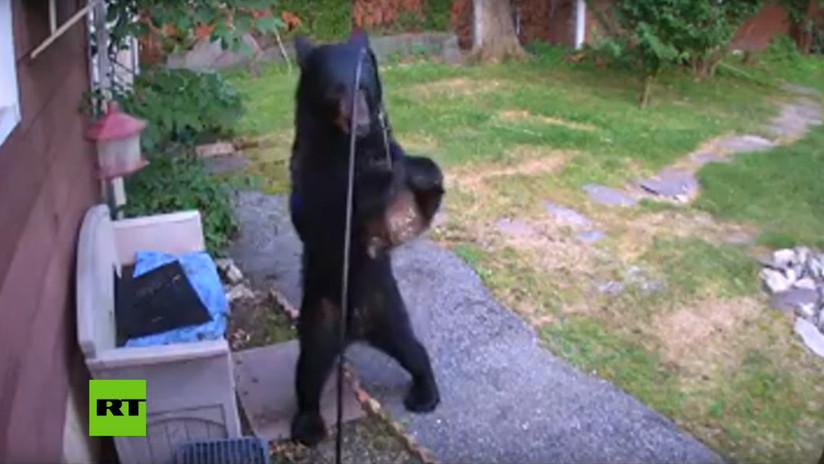 VIDEO: Un oso hambriento irrumpe en una vivienda de EE.UU. y el perro del vecino lo ahuyenta