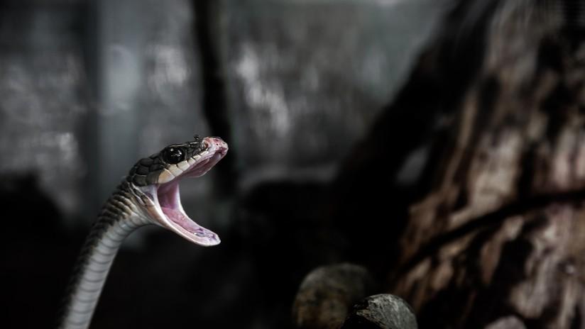 VIDEO: Tres serpientes pelean en una carretera de India