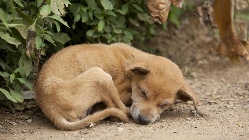 FOTOS: La perrita embarazada que recibió 17 tiros y quedó ciega antes de ser abandonada se dedica ahora a la canoterapia