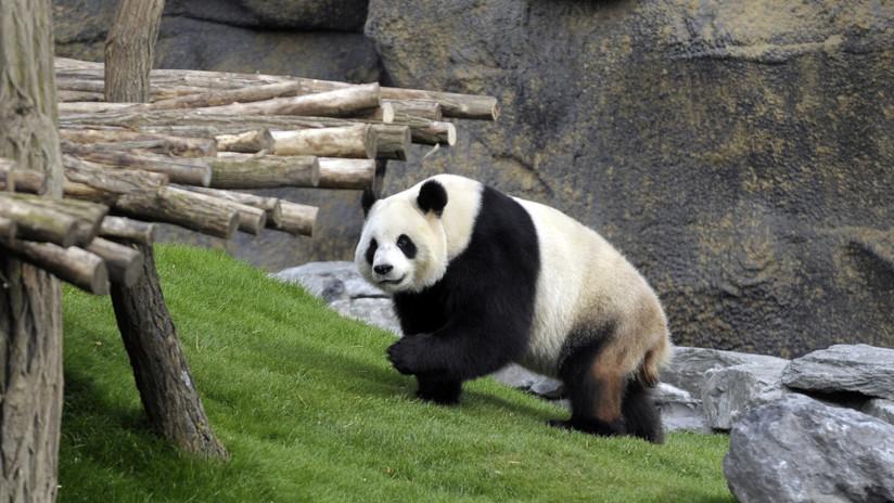 VIDEO: Graban a turistas lanzando una piedra a un panda para despertarlo en el zoológico de Pekín