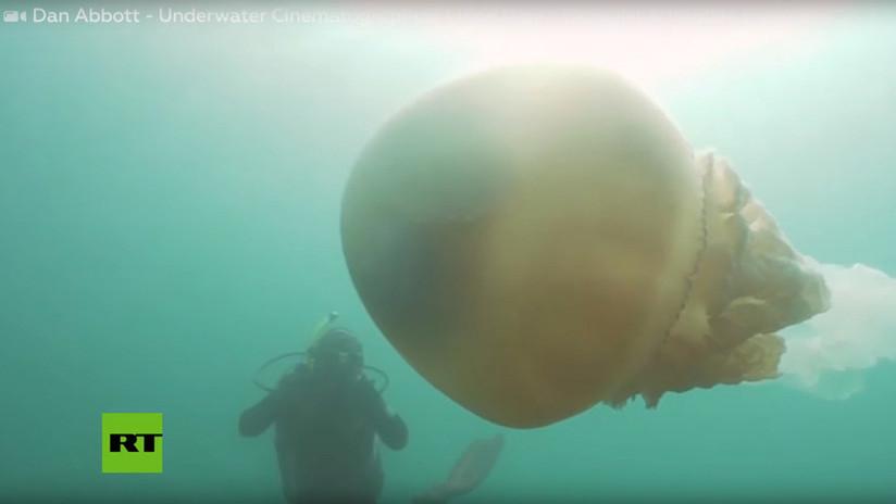 VIDEO: Una buceadora se encuentra 'cara a cara' con una aguamala gigante del tamaño de su propio cuerpo