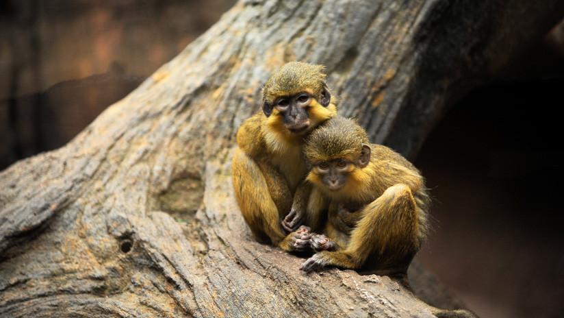 Descubren en Kenia el fósil de un diminuto mono que vivió hace 4,2 millones de años