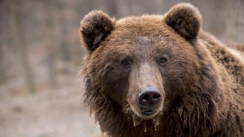 Osos y lobos convivirán en un bosque británico por primera vez en 1.000 años