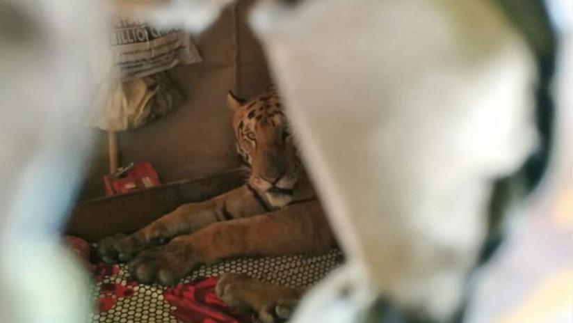 FOTOS: Un tigre irrumpe en una casa y se relaja en una cama tras huir de una inundación en la India