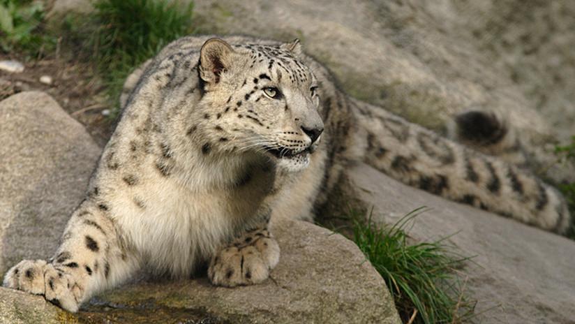 VIDEO: Captan una familia de leopardos de las nieves, uno de los depredadores más esquivos del mundo