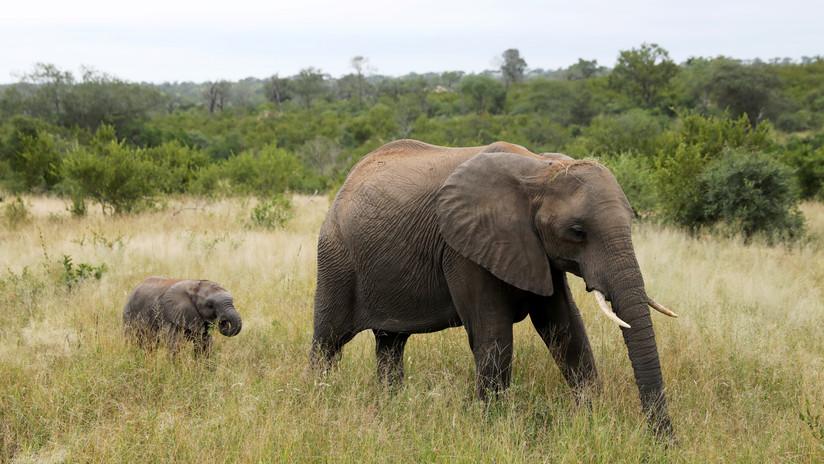 Un fotógrafo capta a un elefante matado brutalmente con la trompa y los colmillos cortados (FOTO)