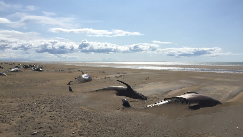 Hallan al menos 50 ballenas muertas en una remota playa de Islandia