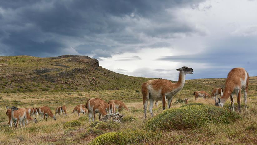 Científicos chilenos buscan emplear 'jardineros naturales' para salvar un bosque esclerófilo