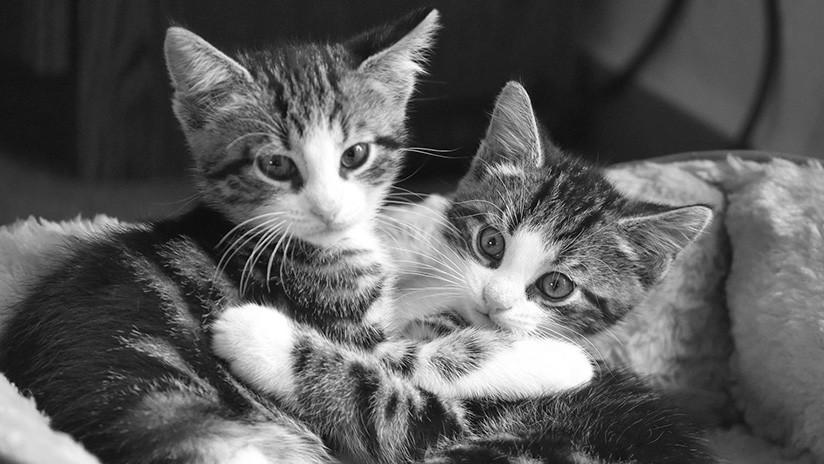 EE.UU.: Dos pitbulls escapan de su jaula en un refugio de animales y matan a 29 gatos