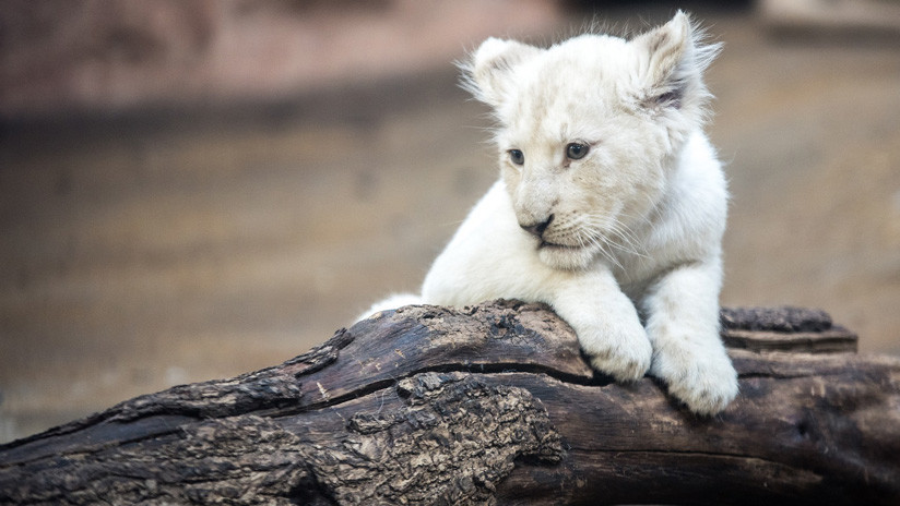VIDEO: Filman un raro cachorro blanco de león en Sudáfrica