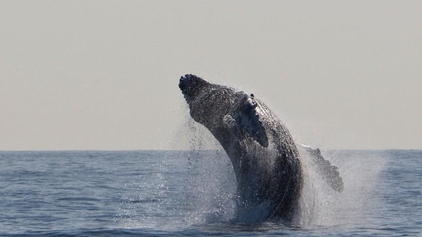 Capta momento de ballena jorobada parece tragar a león marino