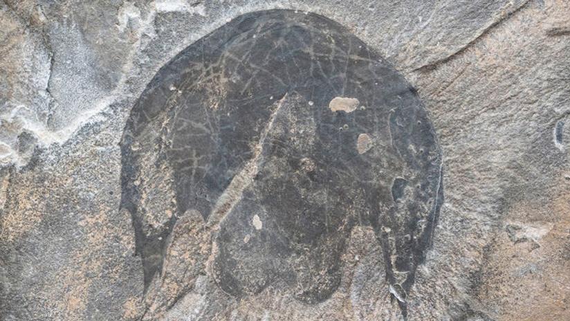 FOTOS: Científicos dan detalles del Halcón Milenario, un depredador del período Cámbrico descubierto en Canadá