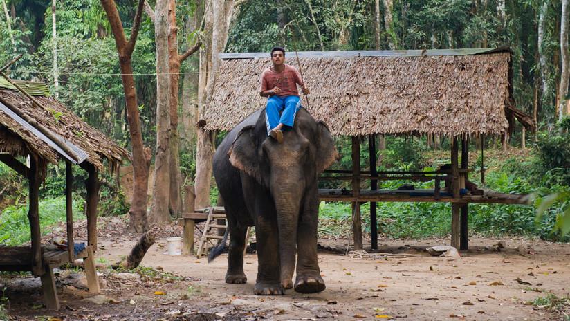 """La """"tortura inhumana"""" a elefantes para entretener a los turistas en Tailandia indigna a las redes"""