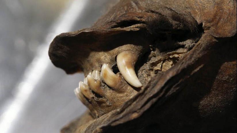 Logran recuperar y secuenciar el ARN de un lobo momificado de 14.000 años