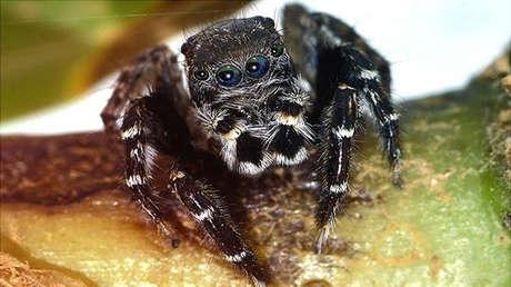 La especie de araña saltadora australiana Jotus karllagerfeldi.
