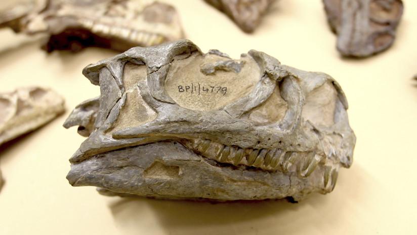 Descubren una nueva especie de dinosaurio 'oculta' en un museo de Sudáfrica durante décadas
