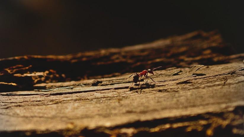 VIDEO: Muestran en cámara lenta cómo funciona el aguijón de una hormiga al picar a su objetivo