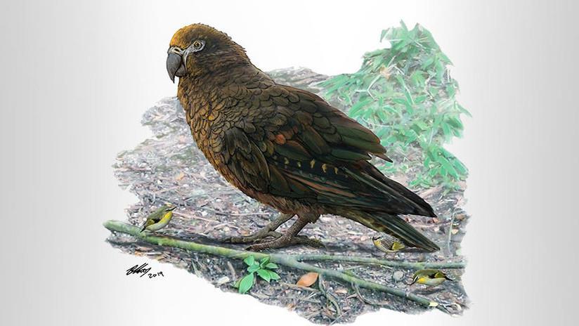 'Hércules con plumas': científicos hallan restos del loro más grande de la Tierra