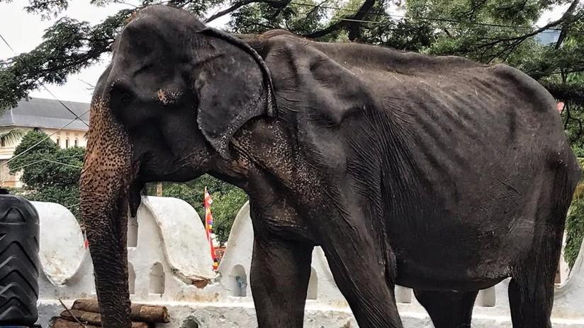FOTOS: Publican imágenes del cuerpo demacrado de una elefanta que suele estar oculto por un disfraz