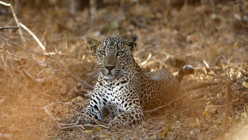 VIDEO: Un leopardo distrae a una manada de leones para lograr escapar