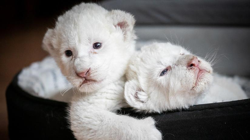 FOTO, VIDEO: Nacen dos cachorros de león blanco en Francia