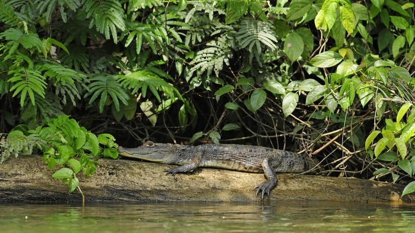 Un cocodrilo devora a un niño de 10 años delante de sus hermanos