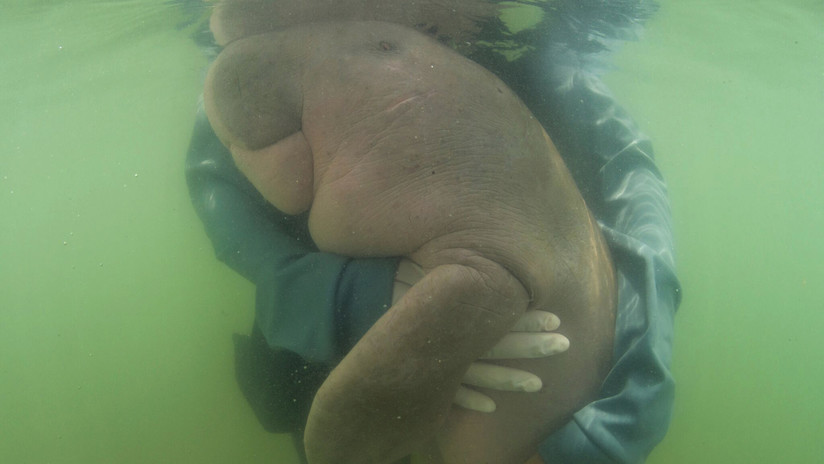 Una vaca marina rescatada que se volvió viral tras abrazarse con los veterinarios muere a causa del plástico que tenía en su estómago