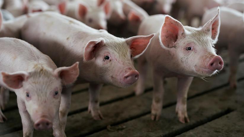 """Experto cirujano afirma que los corazones de cerdos podrían ser trasplantados a los humanos """"dentro de 3 años"""""""
