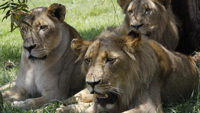 VIDEO: Un guía de safari se lleva una desagradable sorpresa al seguir las huellas de unos leones camuflados entre la hierba