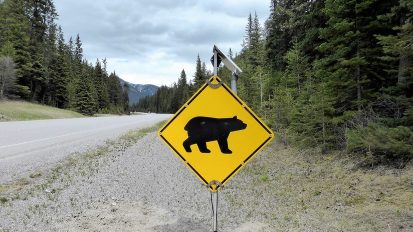 Canadá: Un oso entra en un campamento y asesina a un músico
