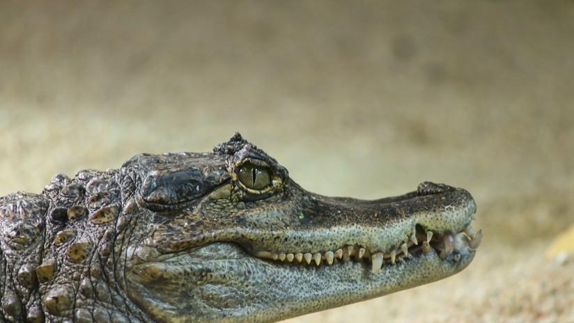VIDEO: Un cocodrilo escala la valla de una base militar en EE.UU.