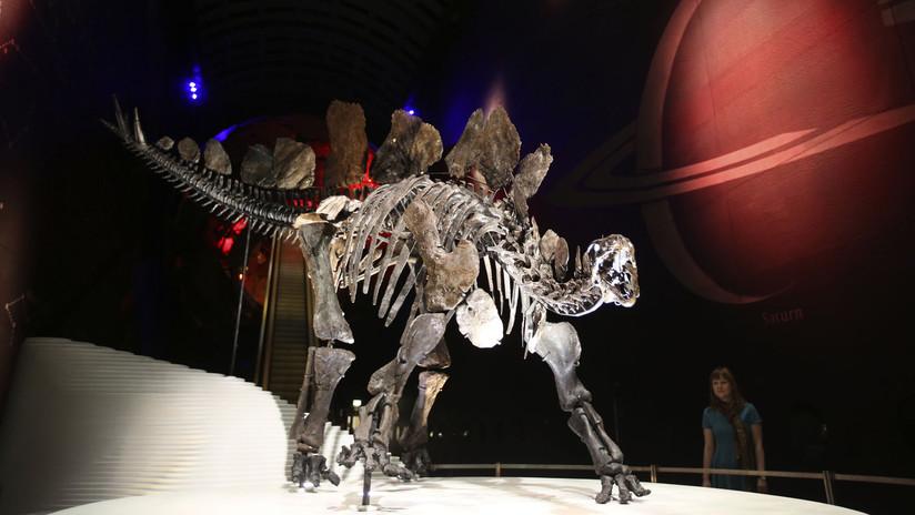 Hallan una nueva especie de estegosaurio, la más antigua jamás descubierta