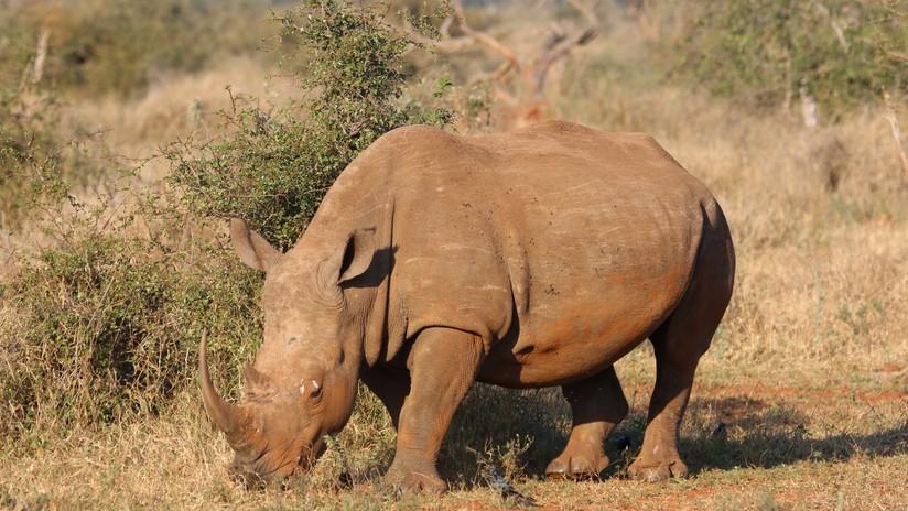 VIDEO: Un rinoceronte se lanza a la carrera contra un jeep de turistas