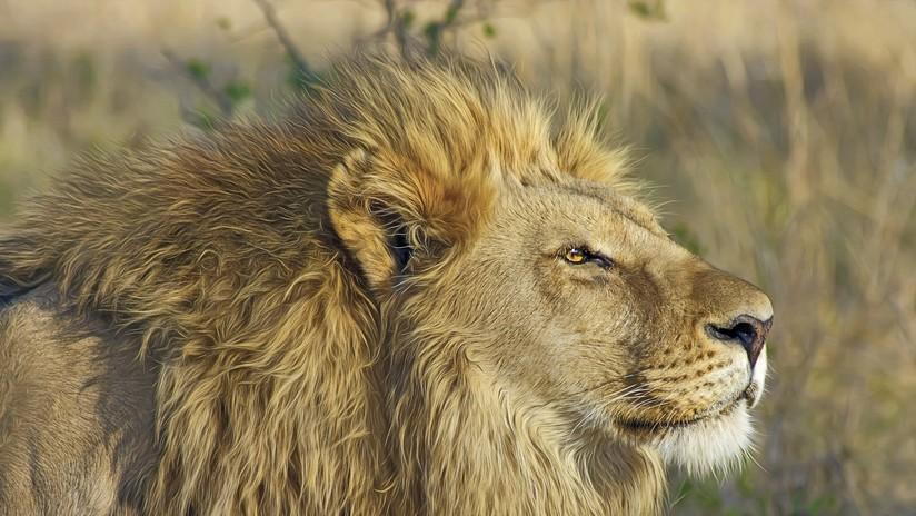 Muere un hombre al ser atacado por uno de sus propios leones cautivos en una reserva de Sudáfrica