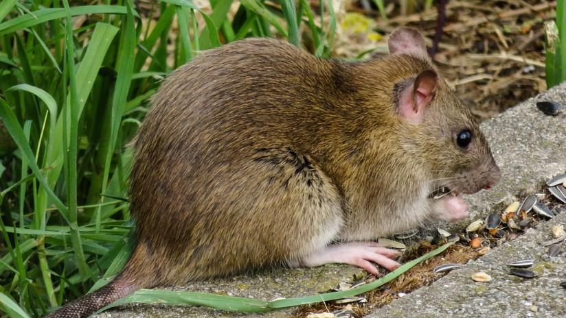 VIDEO: Filman en Moscú una rata 'equilibrista'