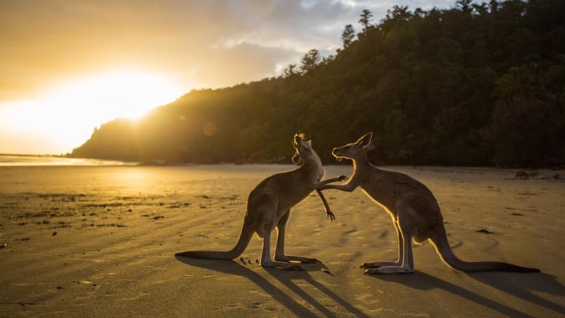 Decenas de canguros aparecen muertos en una playa de Australia tras intentar huir de un incendio forestal (VIDEO, FOTOS)